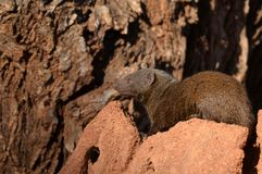Dwarf mongoose (Helogale parvula) Royalty Free Stock Photos