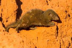 Dwarf Mongoose Crawling royalty free stock images
