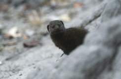 Dwarf Mongoose (Helogale parvula) selective focus Royalty Free Stock Images