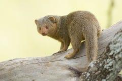 Dwarf Mongoose (Helogale parvula) Serengeti, Tanzania Royalty Free Stock Image
