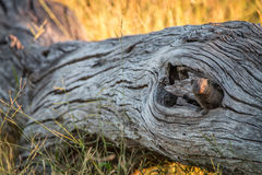 A Dwarf mongoose hiding in the tree. Royalty Free Stock Photos