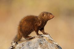 Dwarf mongoose, Kruger N/P Stock Images