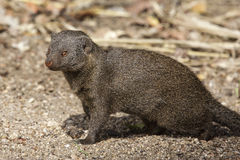 Dwarf Mongoose. In the Kruger Park Royalty Free Stock Photo