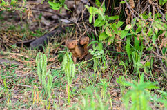 Dwarf Mongoose in the long grass Stock Photo