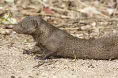 Dwarf Mongoose. Lying on the ground Stock Photos