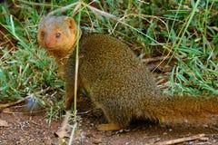 Dwarf mongoose, Maasai Mara Game Reserve, Kenya Royalty Free Stock Image
