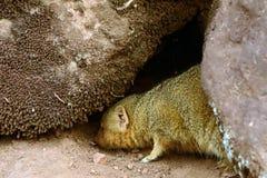 Dwarf mongoose, Maasai Mara Game Reserve, Kenya Royalty Free Stock Photography