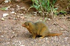 Dwarf mongoose, Maasai Mara Game Reserve, Kenya Stock Photos