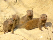 Southern african animals. Dwarf mongoose in the morning sun Royalty Free Stock Photos
