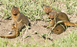 Dwarf mongoose playing. Kenya, Africa, Masai Mara, dwarf mongoose playing Royalty Free Stock Images