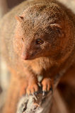 Dwarf Mongoose Portrait Stock Photo