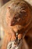 Dwarf Mongoose Portrait Stock Photo