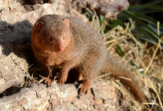Dwarf Mongoose Portrait Royalty Free Stock Images