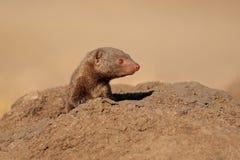 Dwarf mongoose. Portrait of a dwarf mongoose (Helogale parvula), South Africa Stock Images