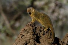 Dwarf mongoose sentinel, Serengeti Stock Image