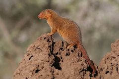 Dwarf mongoose sentinel on termite mound Royalty Free Stock Photo