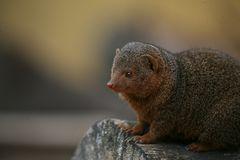 Dwarf Mongoose. A small mammal sitting on a cut log looking into the frame Stock Photos