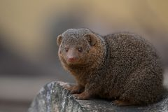 Dwarf Mongoose. A small mammal sitting on a cut log looking into the frame Stock Photography