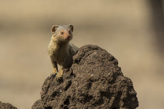 Dwarf Mongoose standing on a termite mound in which the animal b Stock Photo