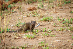Dwarf mongoose starring at the camera. Royalty Free Stock Photos