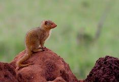 Dwarf mongoose on a termite mound. A dwarf mongoose on a termite mound en profil with room for text Royalty Free Stock Photo