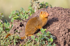 Dwarf Mongoose By Termite Mound Stock Photo