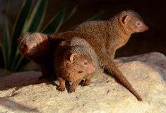 Dwarf Mongoose Trio Stock Images