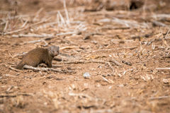 Dwarf mongoose walking in the sand. Stock Photo