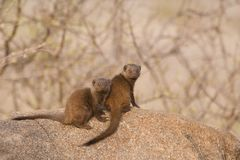 Dwarf Mongooses Royalty Free Stock Images