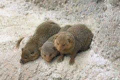 Dwarf mongooses Stock Image