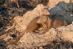 Dwarf mongooses. Interacting outside their warren at dusk Stock Images