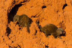 Dwarf Mongooses on a Mound Stock Photography