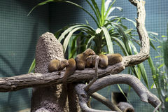 Dwarf mongooses sitting on branch. A group of dwarf mongooses sitting on branch in their habitat in a zoo Royalty Free Stock Photo