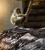 Dwarf monkey Royalty Free Stock Images