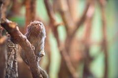 Dwarf Monkey talapoyn Stock Photo