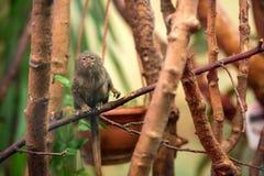 Dwarf Monkey talapoyn Royalty Free Stock Photography