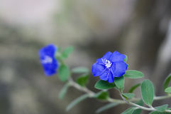 Dwarf morning glory with blue blurry background. Dwarf morning glory with blurry background Stock Image