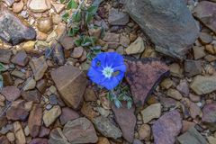 Dwarf morning glory flower blooms in the desert stock photography