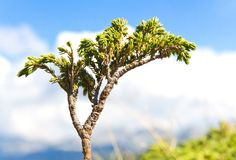 Dwarf mountain pine Stock Image