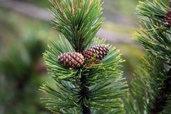 Dwarf Mountain Pine (Pinus mugo) Stock Photos