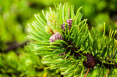 Dwarf mountain pine ( Pinus mugo Turra ). Dwarf mountain pine  also called creeping pine is a conifer that grows in high elevation habitats in European mountains Stock Photos