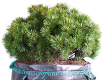Dwarf mountain pine in a pot Royalty Free Stock Image