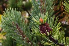 Dwarf mountainpine needles with raindrops Royalty Free Stock Photo