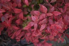 Dwarf Nandina domestica shrub. Colorful branch of dwarf Nandina domestica shrub stock image