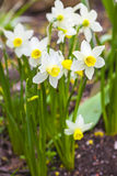 Dwarf Narcissus. Dwarf narcissi  €œJack Snipes is an extra early variety of narcissus Stock Photo