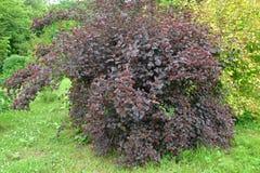 Dwarf ninebark (Physocarpus opulifolius Kuntze), Diabolo grade (or Purpureus) with fruits Royalty Free Stock Images