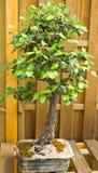 Dwarf oak tree Stock Images