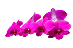 Dwarf orchids Dendrobium Stock Photos