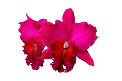 Dwarf orchids Dendrobium Royalty Free Stock Photos