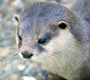 Dwarf otter 1 Stock Photo
